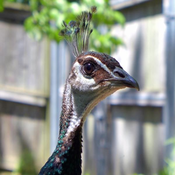 05.26.13 | peacock