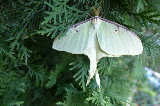 07.30.13   luna moth