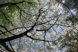 05.12.14   under the dogwood tree