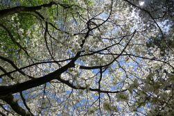 05.12.14 | under the dogwood tree