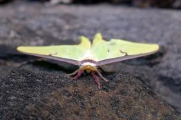 07.31.14 | luna moth staring contest