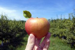 08.29.14 | honeycrisp!