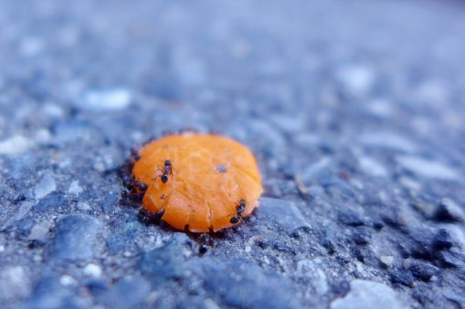 07.02.15   ants on a squashed skittle