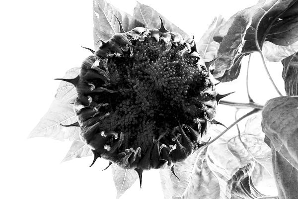 09.14.15 | sunflower