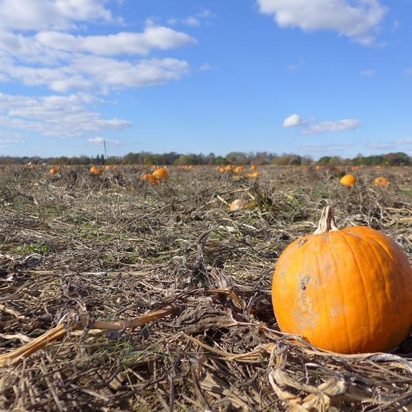 11.14.15   leftover pumpkins