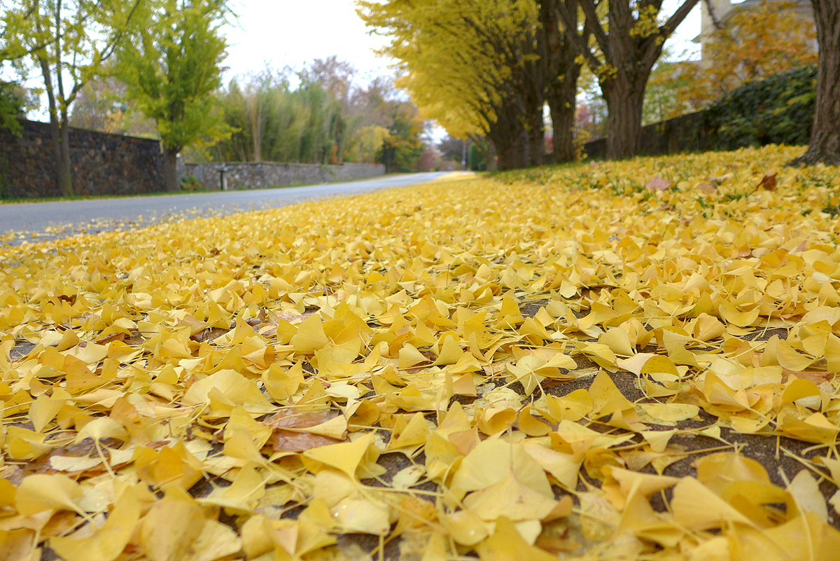 11.05.15 | follow the yellow leaf road