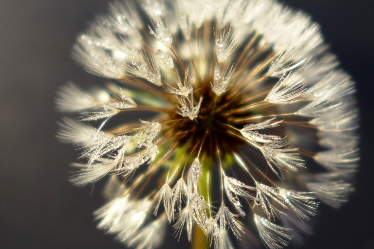 12.07.15 | december dandelion dew