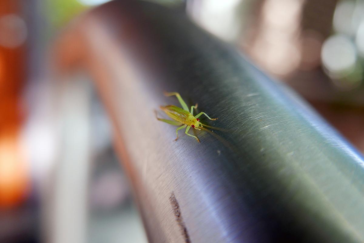 09.06.16 | tiny grasshopper
